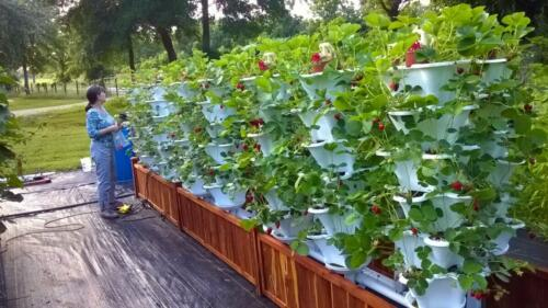 Deck Garden 15 Tower Strawberries 2 (Large)