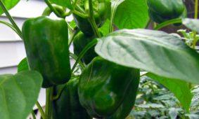 Calcium in Plants