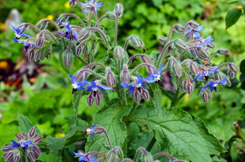 The Borage Plant