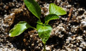 Growing Organic versus Hydroponics