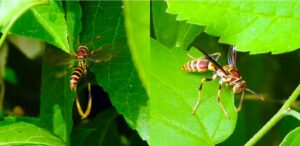 Guinea Paper Wasps (Polistes exclamans) hunting host plants for caterpillars.