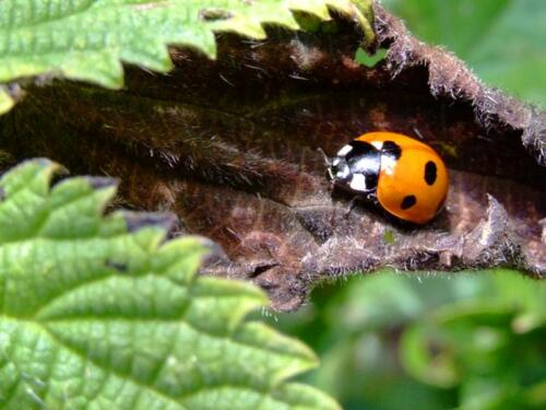 lady-bird-lady-bug81