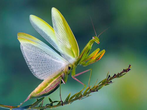 Praying-Mantis-Defending