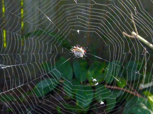 Spiny-Orb-Weaver-Spider-Web