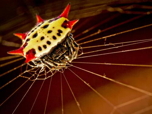 Spiny-Orb-Weaver-Spider