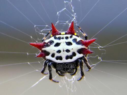 Spiny-Orb-Weaver-Spider 3