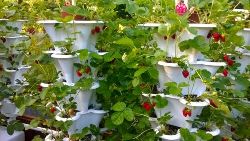 Roof Top Strawberry Garden