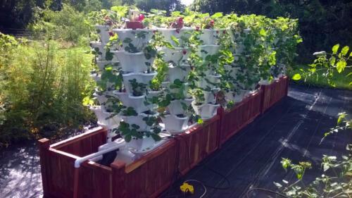 Roof Top Strawberry Garden2